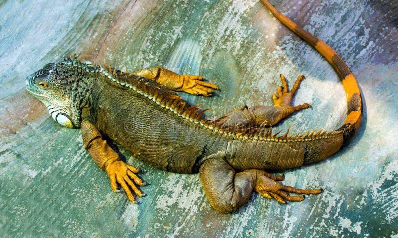 Leguan Sova draken Stående av en stor ödlareptiligua arkivbilder
