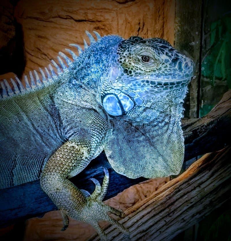 Leguanazul arkivbilder