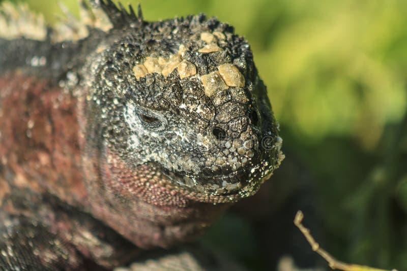 Leguancloseup från de Galapagos öarna royaltyfri bild