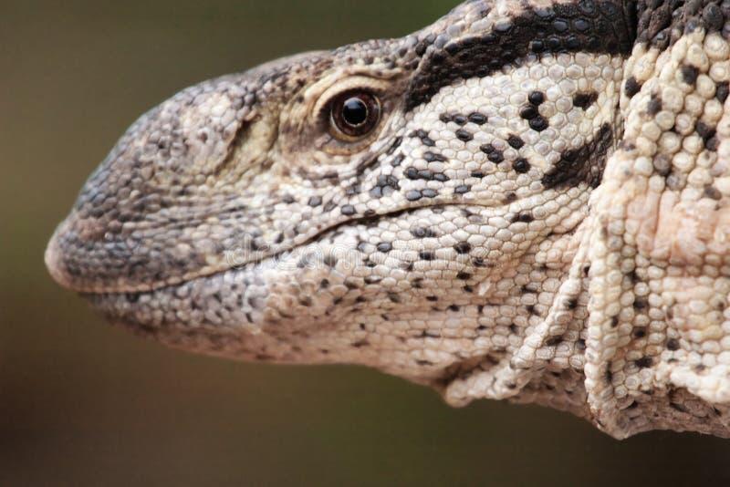 Download Leguane zdjęcie stock. Obraz złożonej z opustoszały, egzot - 13327648