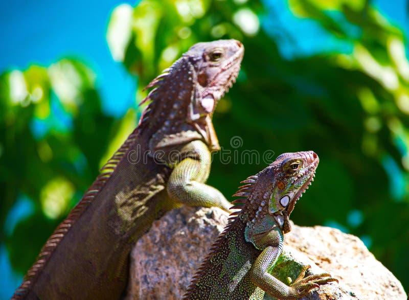 Leguaner på vaggar i det karibiska havet royaltyfria bilder