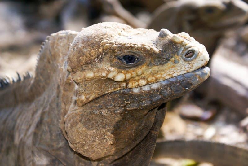 Leguanprofildetalj med naturlig bakgrund Sikt för närbild för huvud för ödla` s Liten lös reptil arkivbilder