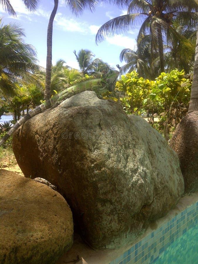 Leguanstrandlandskap överst av en sten som sunning på kanten av pölen i tropisk miljö på Isla Margarita royaltyfri foto
