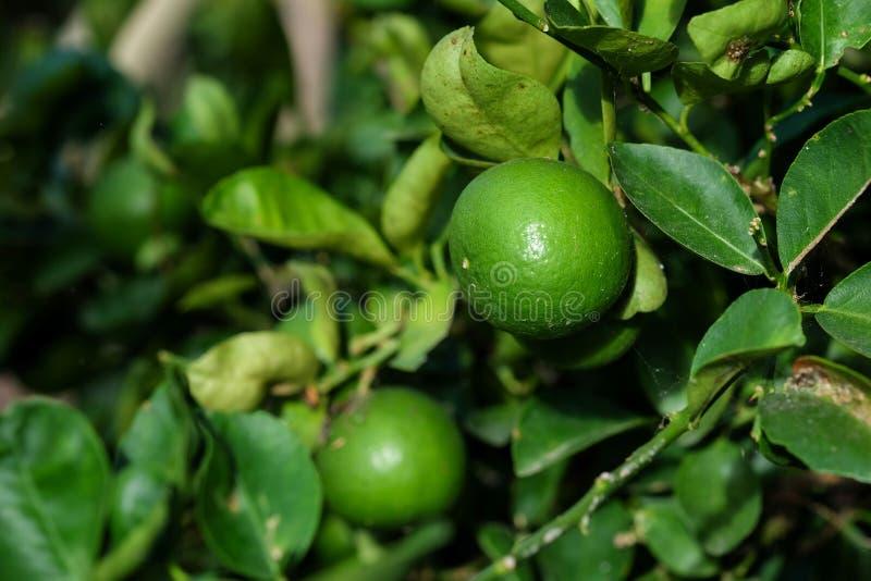 legumbre de fruta de la cal en el jardín imagenes de archivo