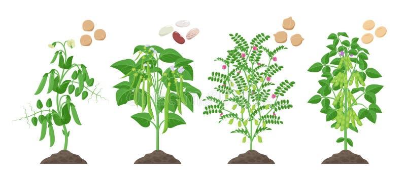 Legumes rośliny z dojrzałym owoc dorośnięciem od ziemi odizolowywającej na białym tle Groch, Pospolita fasola, Chickpea, soja ilustracja wektor