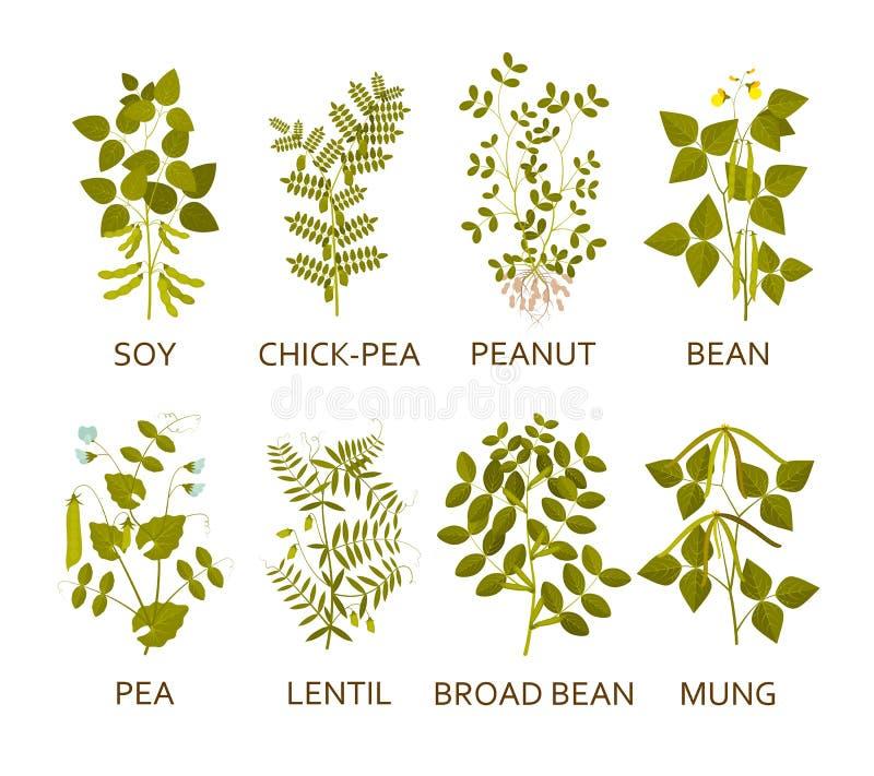 Legumes rośliny z liśćmi, strąkami i kwiatami, royalty ilustracja
