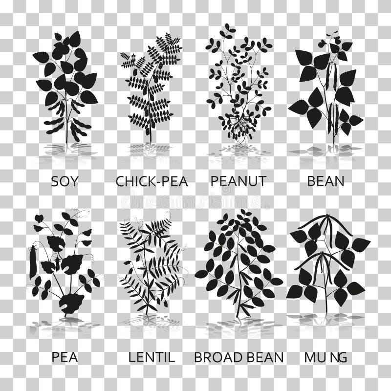 Legumes rośliny z liśćmi, strąkami i kwiatami, Sylwetek ikony z odbiciem na przejrzystym tle ilustracja wektor