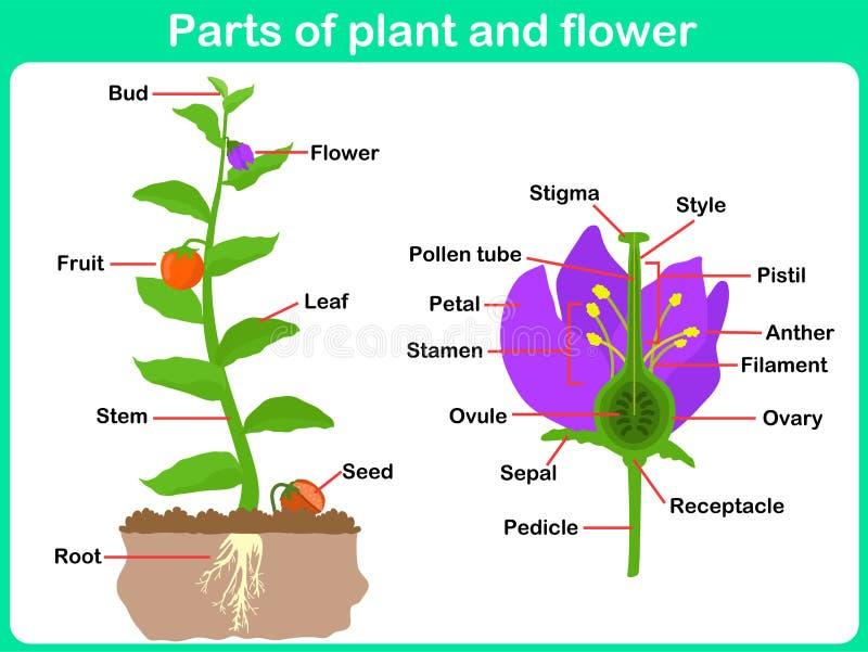 Lehnende Pflanzenteile und Blume für Kinder stock abbildung