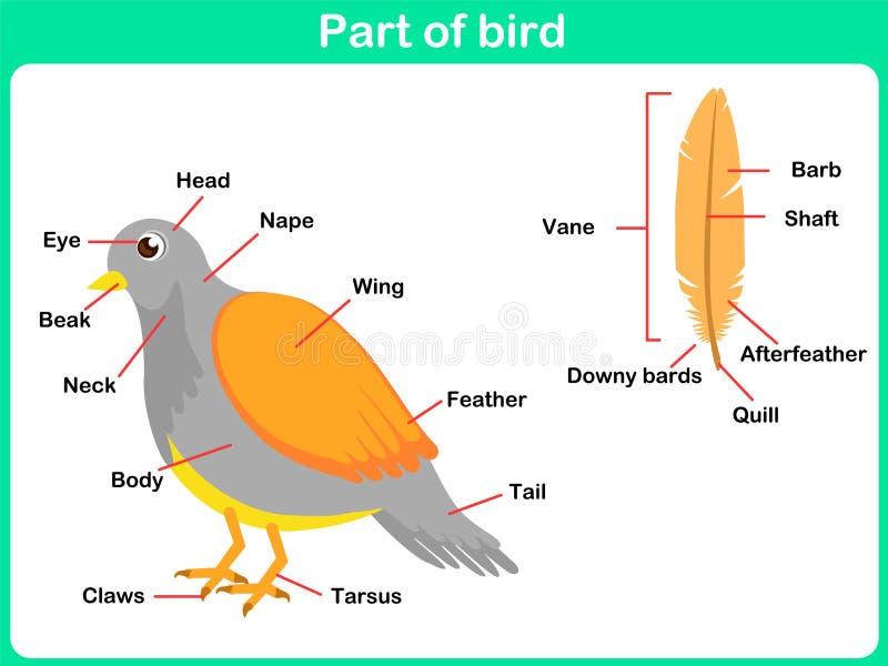 Lehnende Teile des Vogels für Kinder - Arbeitsblatt stock abbildung