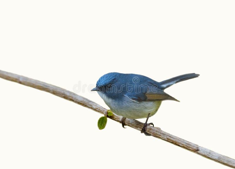 Leiachtige blauwe flycather die op boomtak neerstrijken stock afbeelding