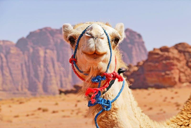 Leicht lächelndes Kamel in Wadi Rum Desert, Jordanien stockbild