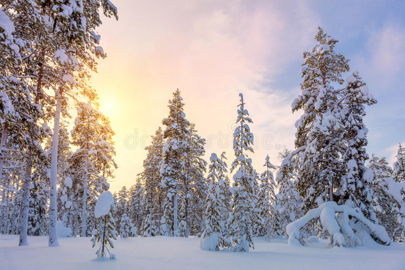 Leichter Winter-Sonnenuntergang - schneebedeckte Waldlandschaft mit großem Kiefer tre lizenzfreie stockfotografie