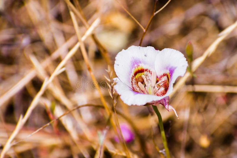 Leichtlin`s Mariposa Lily blooming on the hills of south San Francisco bay area, California royalty free stock image