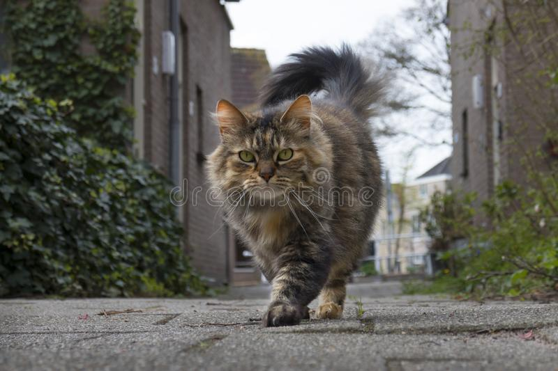 Long haired domestic tabby cat walking outside royalty free stock image