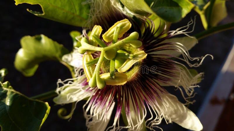 Leidenschafts-Blume stockbild
