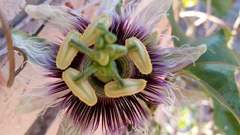 Leidenschafts-Blume lizenzfreies stockfoto