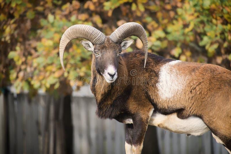 Leider van de kudde van mouflons op wachtorde stock fotografie