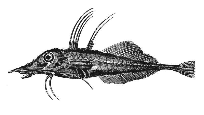 Leierfische lizenzfreie abbildung