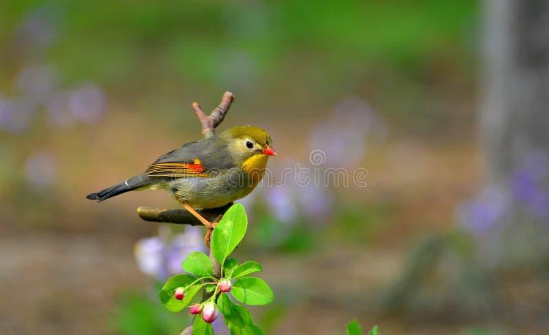 Leiothrix Vermelho-faturado foto de stock royalty free