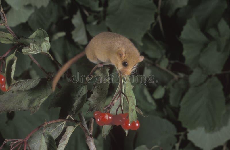 Leirão côr de avelã ou comum, avellanarius do Muscardinus imagem de stock