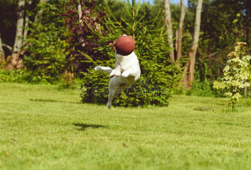 Leisure activity with pet concept — dog jumps to intercept american football ball. Jack Russell Terrier playing football at backyard lawn royalty free stock images