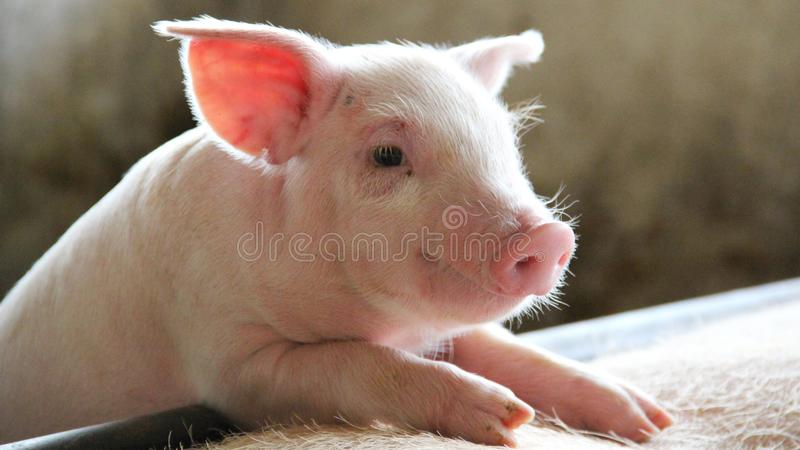 Leitão feliz e saudável na exploração agrícola dos suínos imagem de stock