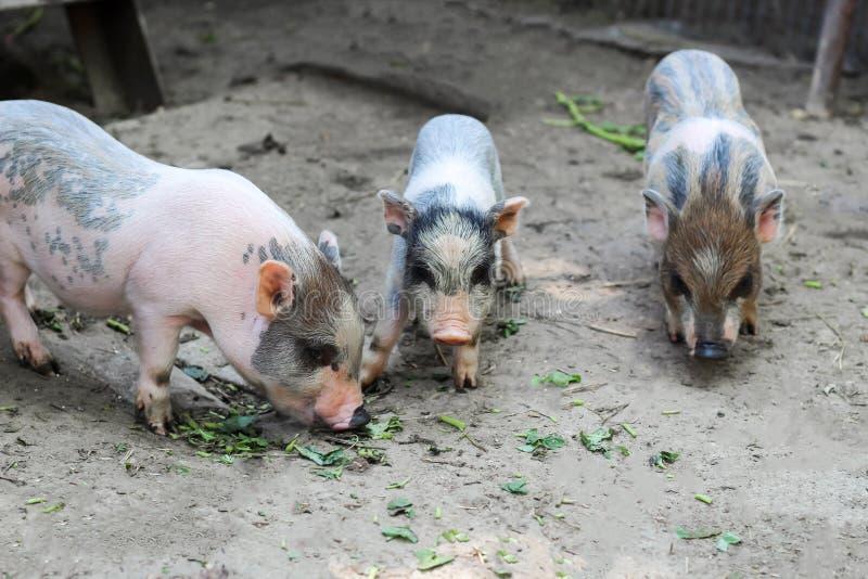 leitão vietnamianos pequenos em uma exploração agrícola imagem de stock royalty free
