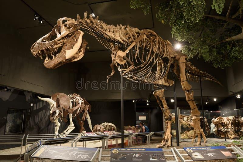 LEITARTIKEL am 12. Juli 2017 Bozeman Montana, Museum Rocky Mountainss, Tyrannosaurus Rex Fossil Exhibit lizenzfreies stockfoto