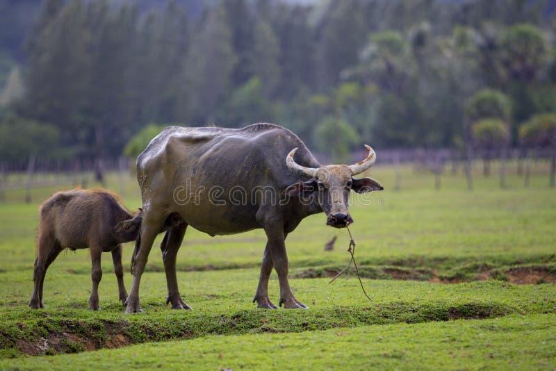 Leite bebendo de búfalo de água do jovem no campo de grama verde fotografia de stock