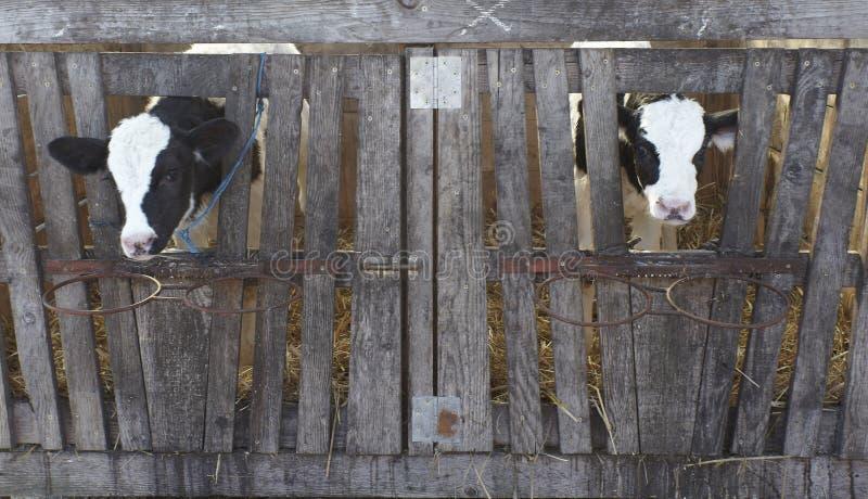 Leite bovino da agricultura da exploração agrícola da vaca foto de stock royalty free