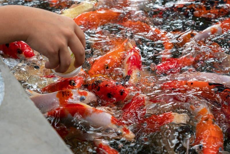 Leite da alimentação da garrafa pequena às carpas pequenas na lagoa fotos de stock
