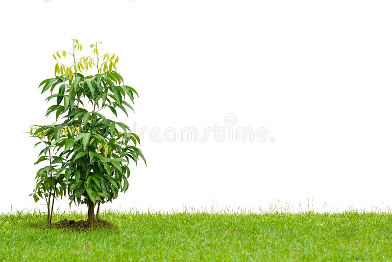 Leiteiro jovem crescendo em um gramado isolado em fundo branco foto de stock royalty free