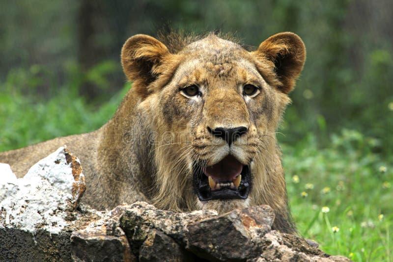 Lejon royaltyfri fotografi