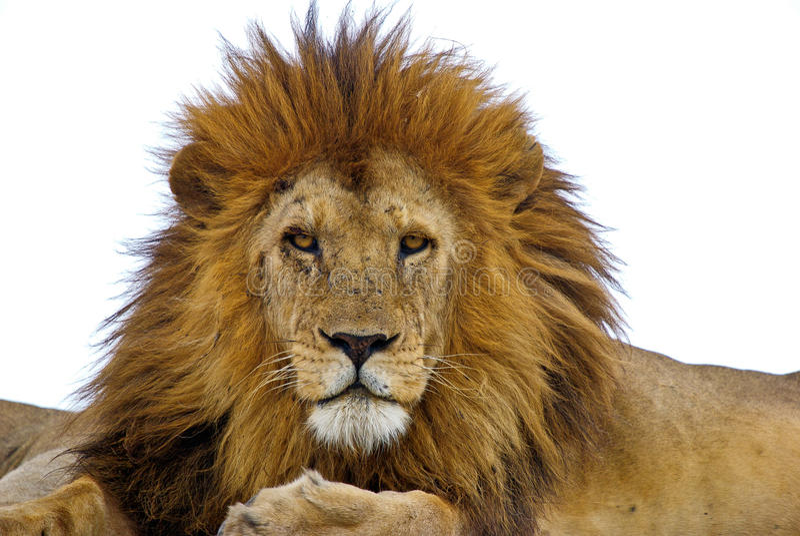 Lejon arkivfoto
