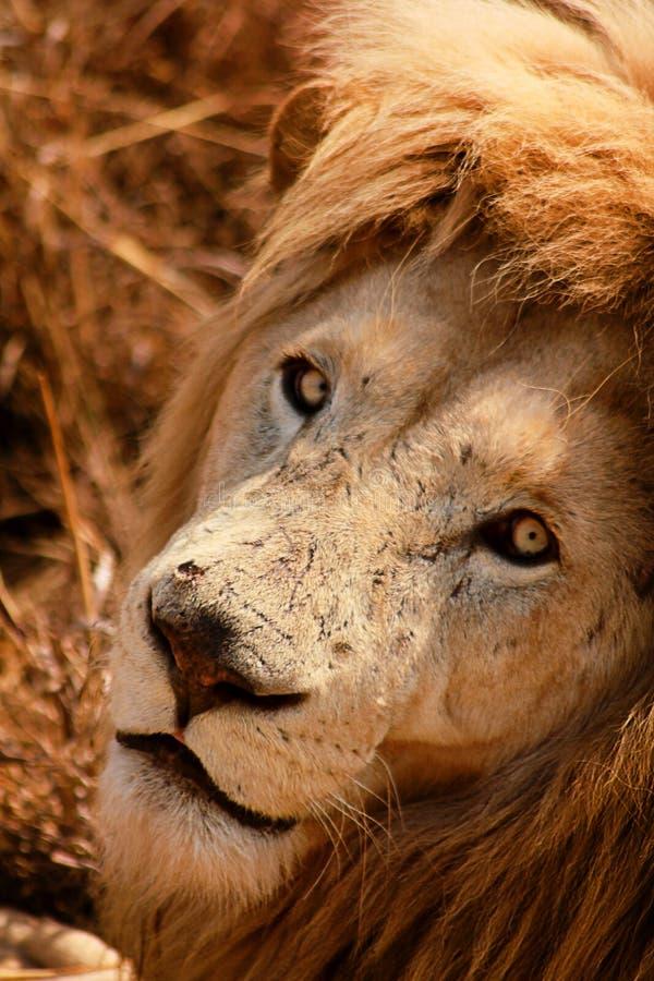 Lejon arkivfoton