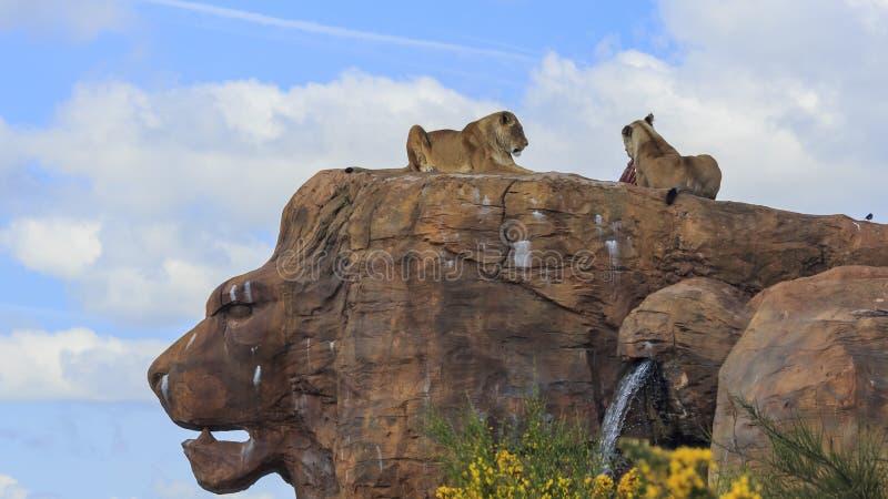 Lejon i den härliga västra centrala landsdelen Safari Park royaltyfria bilder
