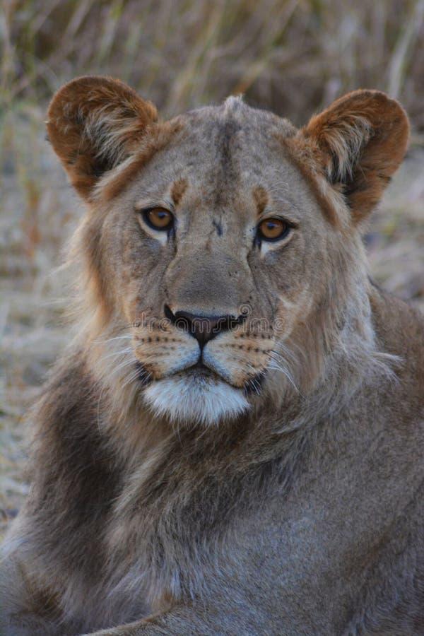 Lejon i den Kalahari öknen i Botswana som färgas royaltyfri foto