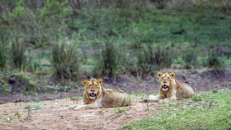 Lejon i den Kruger nationalparken, Sydafrika royaltyfria bilder