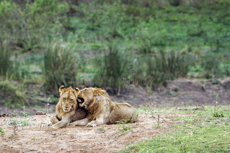 Lejon i den Kruger nationalparken, Sydafrika arkivbild