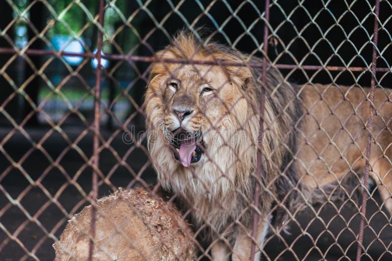 Lejon i fångenskap, bak stänger arkivfoto