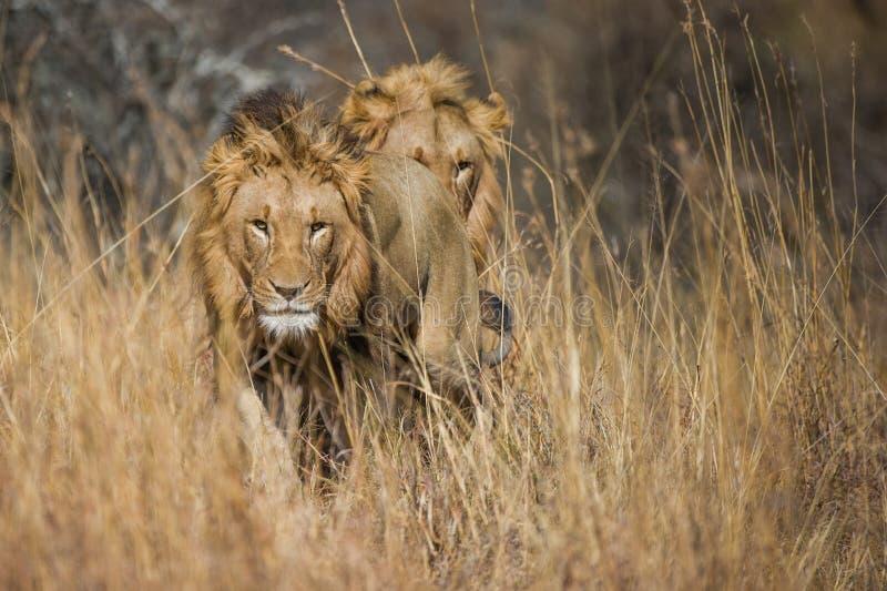 Lejon i gräs Sydafrika royaltyfria foton