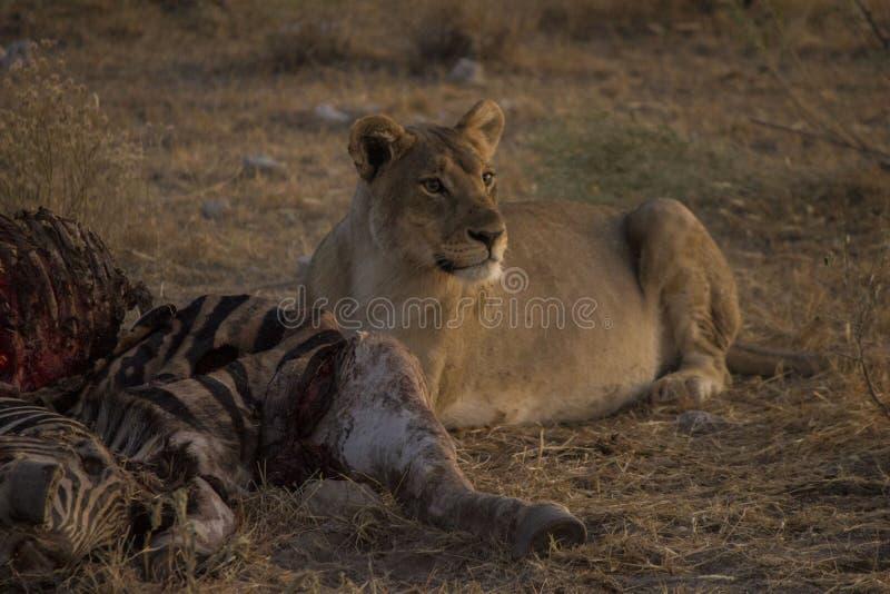 Lejon i morgonsolen Namibia royaltyfria bilder