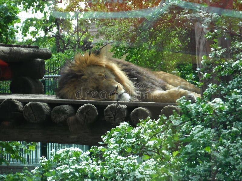 Lejon i ZOO som ligger på jordningen arkivbild