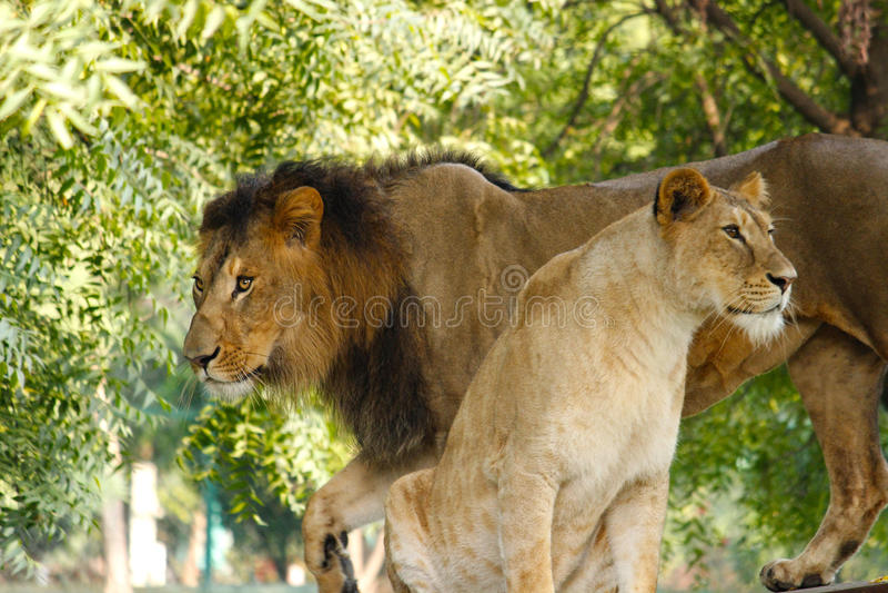 Lejon & lejoninna fotografering för bildbyråer