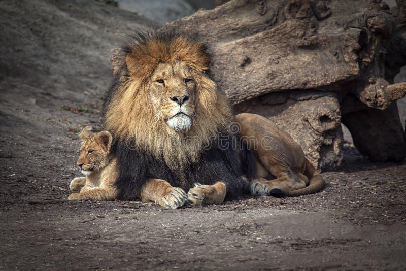 Lejon och att behandla som ett barn gröngölingen royaltyfria foton