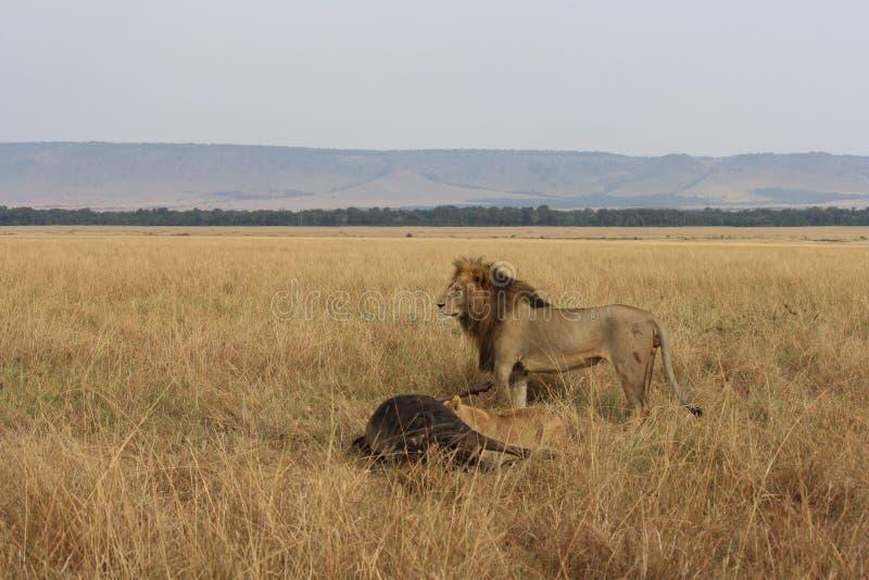 Lejon och dess byte arkivbilder