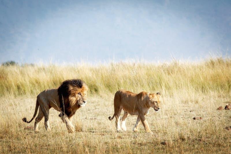Lejon och lejoninna som går Throgh Kenya arkivfoton