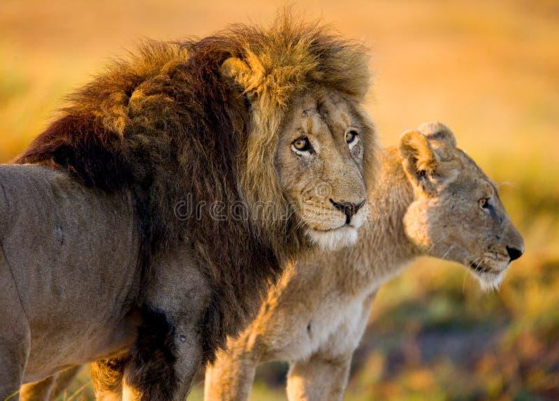 Lejon och lejoninna som tillsammans står bothy Okavango delta arkivbilder