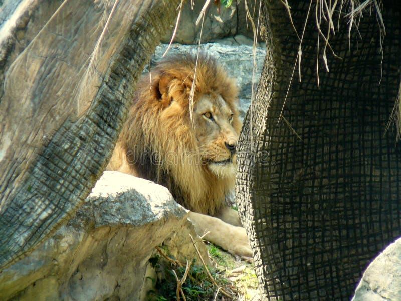 Lejon på Chaing Mai, Thailand zoo arkivbilder