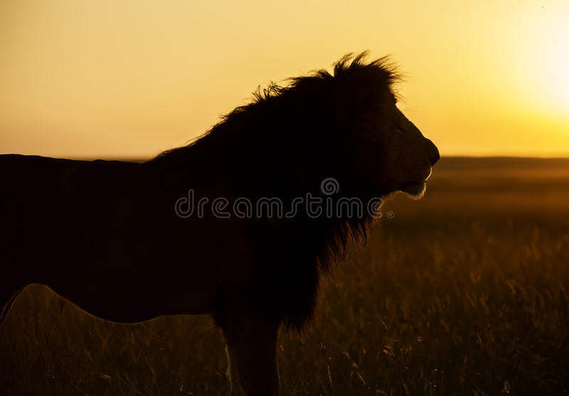 Lejon på solnedgången royaltyfri fotografi
